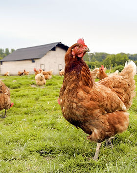 Freilandhaltung Hühnerfarm
