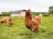 Free Range Chicken Farm