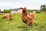 Ferme de poulets élevés en liberté
