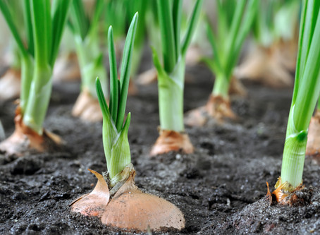 Want to Grow Onions?