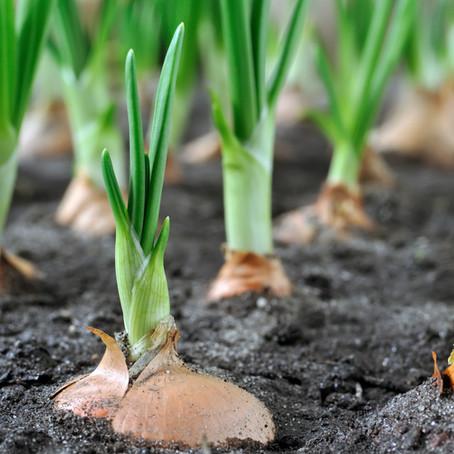 Focus plante potagère : L'OIGNON