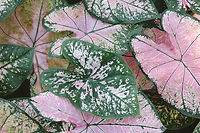 Feuilles de plantes de caladium