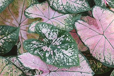 カラジウムの葉