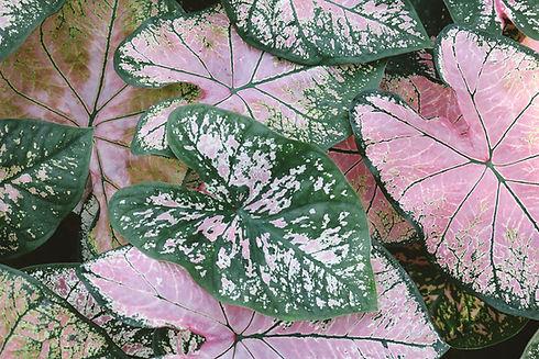 Caladium Plant Leaves