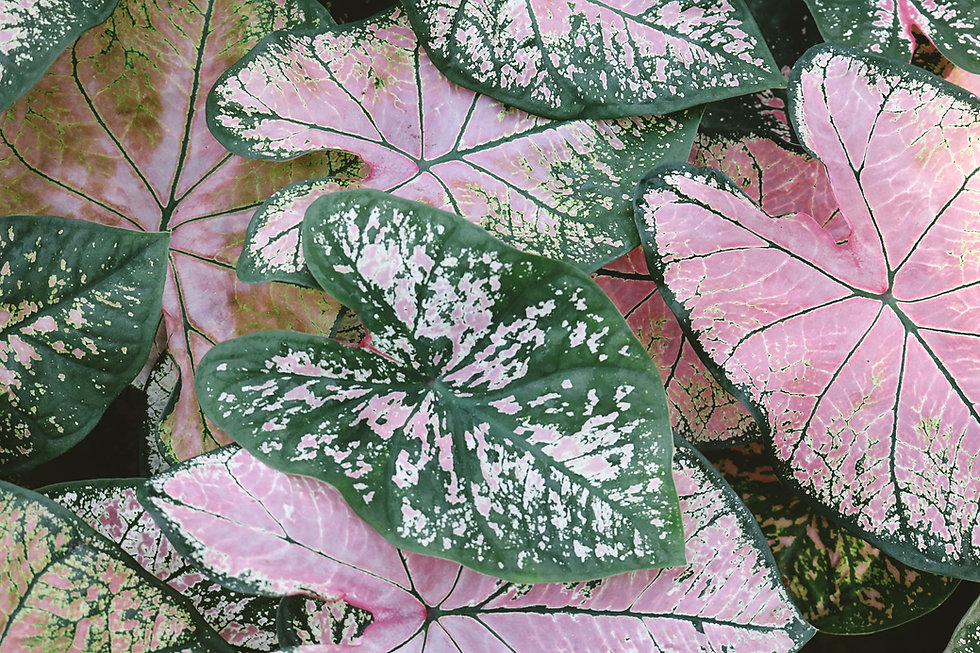 Caladium Plant Leaves