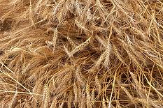 Récolte de blé