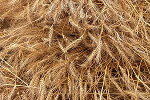 Wheat Crop