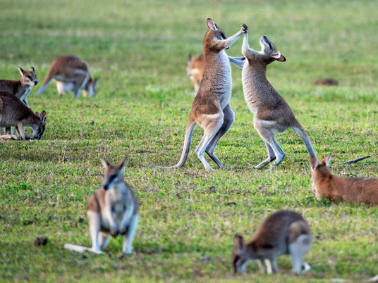 Scientists Seek Urban Kangaroo Sightings Across SEQ