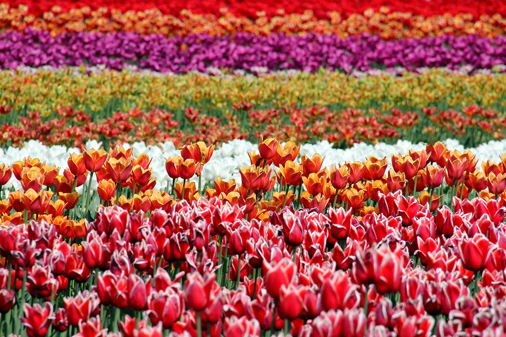 Rows of multi-colored tulips