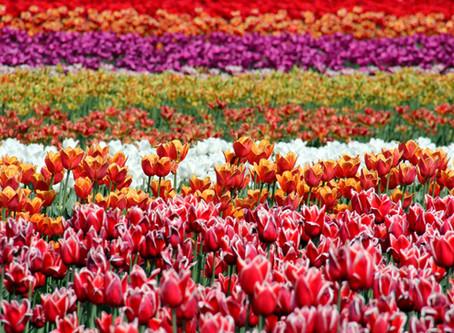 Tulipomania o Bolla dei Tulipani
