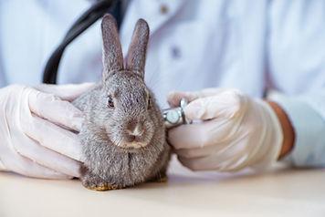 クリニックでうさぎを診察する獣医