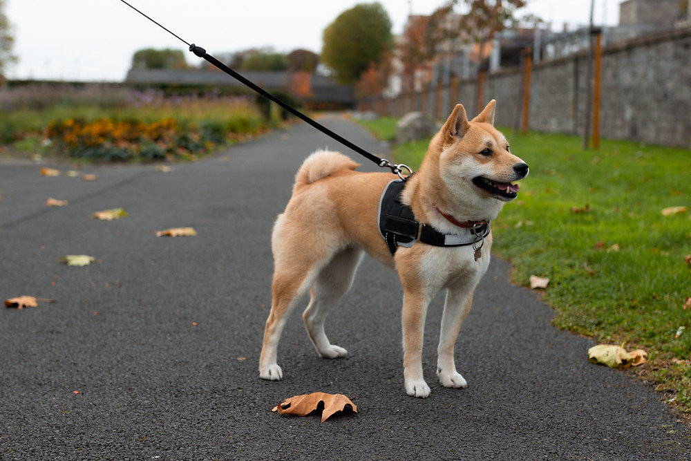 Dog with proper harness
