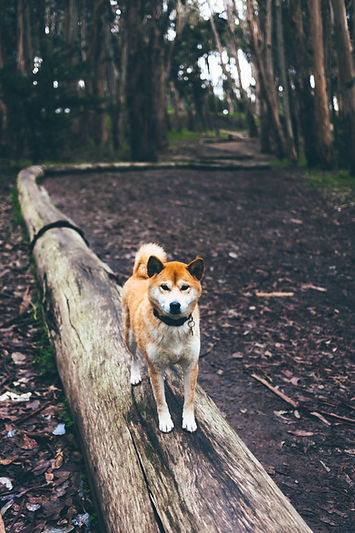 Chien dans la forêt Cani Rando