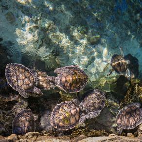 Sea Turtle Babies