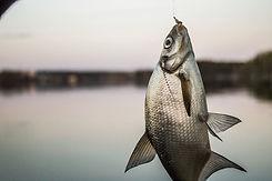 Fish Caught in Hook