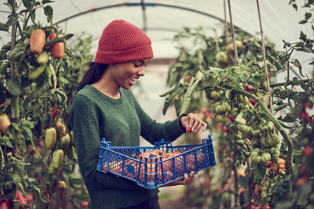 Eine Frau erntet Tomaten