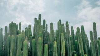SH20 Cactus Fields