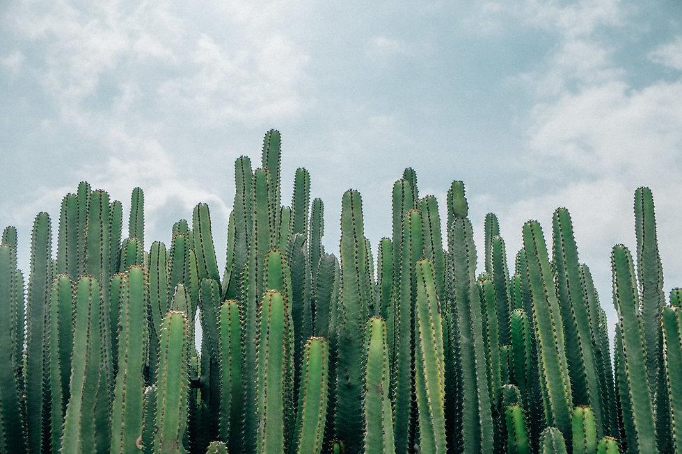 Campos de cactus