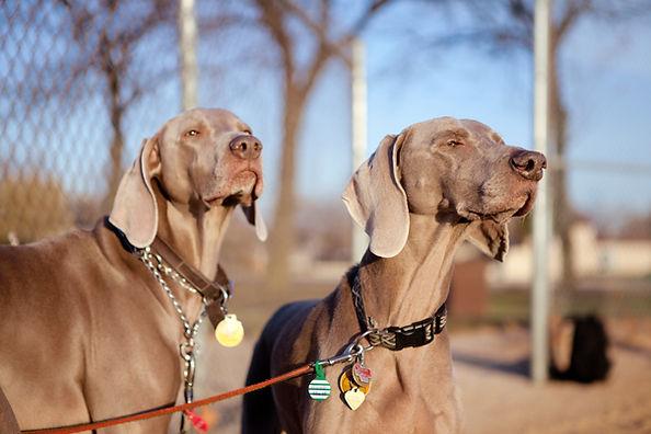 Perros de vizsla