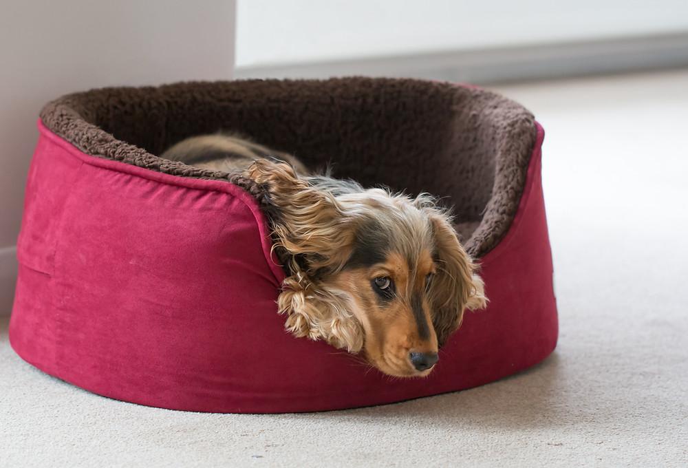 calm dog in dog bed using cbd