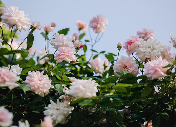 Various Floribunda and Hybrid Tea Roses