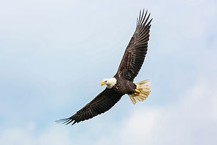 Eagle Flying
