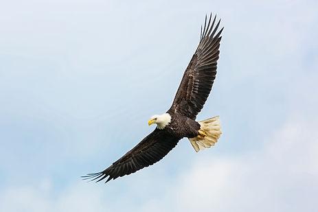 Adler fliegen
