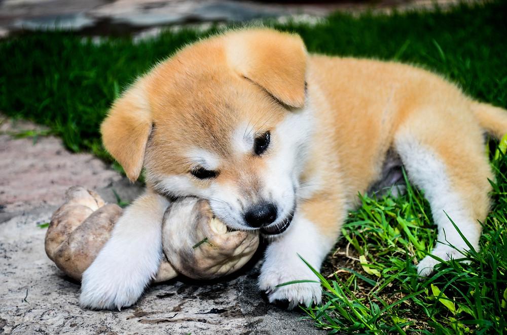 Cute puppy gaurding his bone