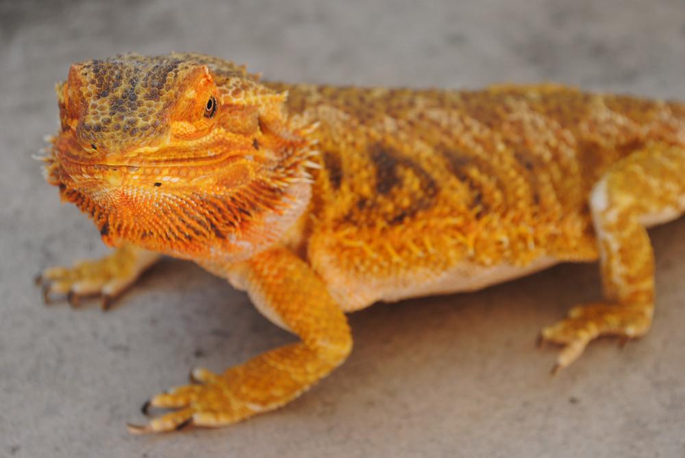 Defensores de los animales piden a PetSmart que deje de vender reptiles y anfibios.