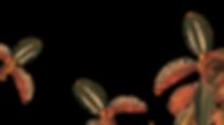 Plantas de caucho