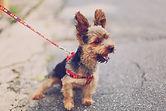 Liten terrier