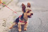 Petit terrier