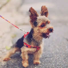 Small Terrier