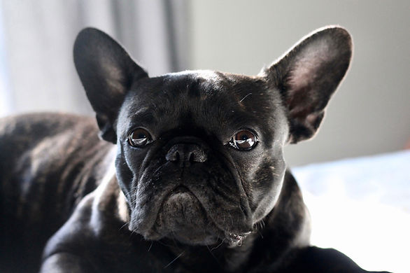 Black Pug
