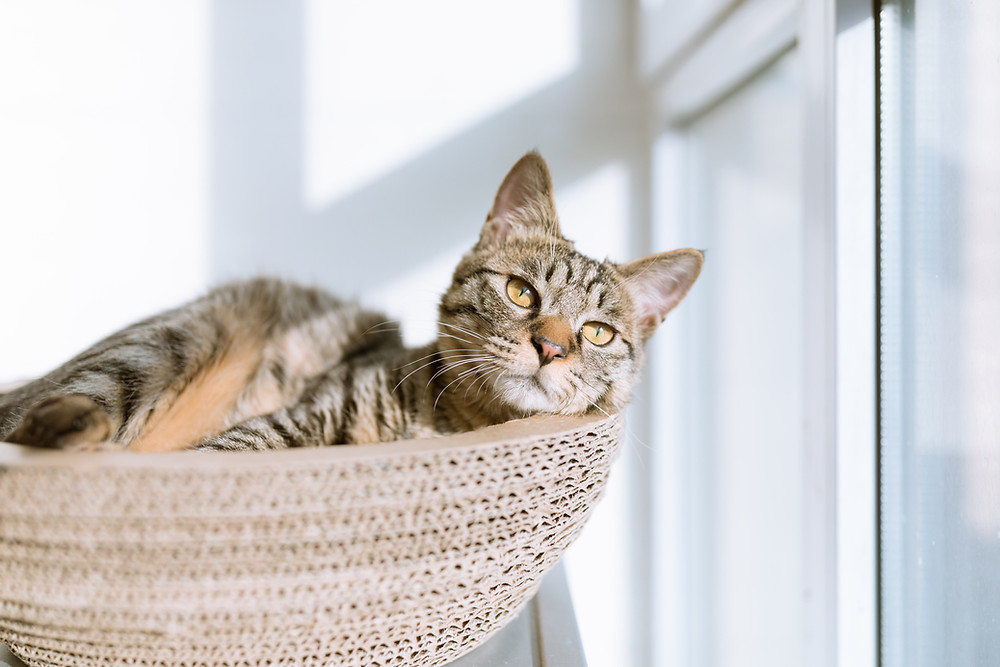sleepy cat in cat tree bed by a sunny window