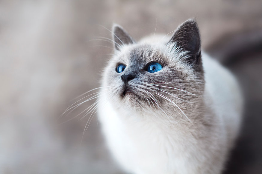 Chat siamois curieux