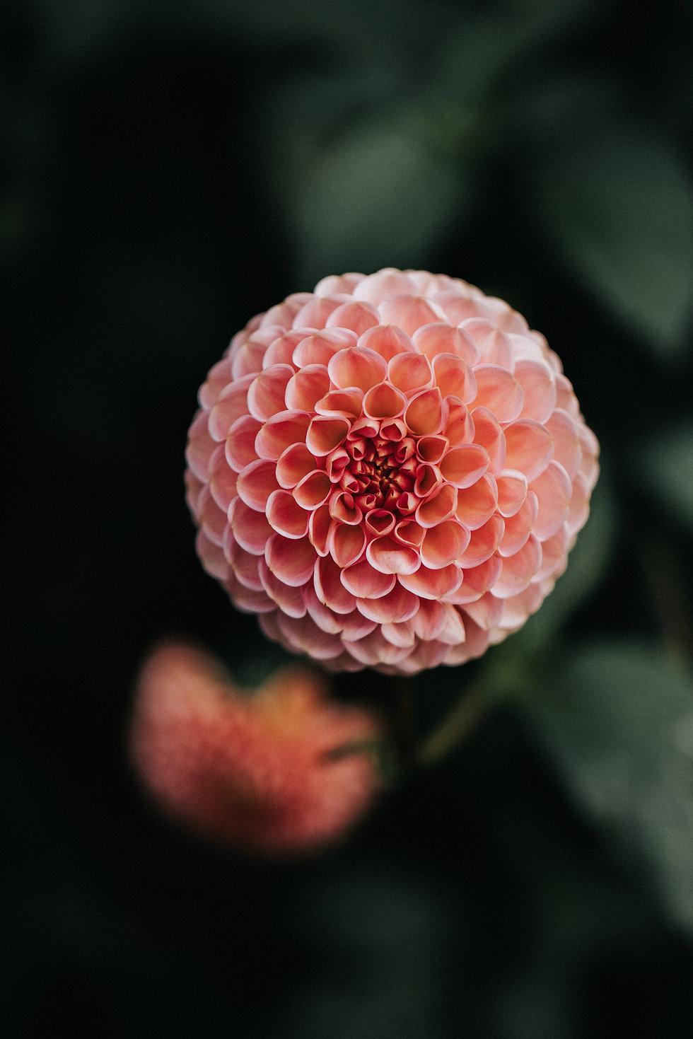 Dahlie-Blume