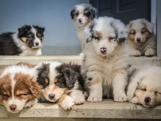 Resource: Australian Shepherd Health Issues