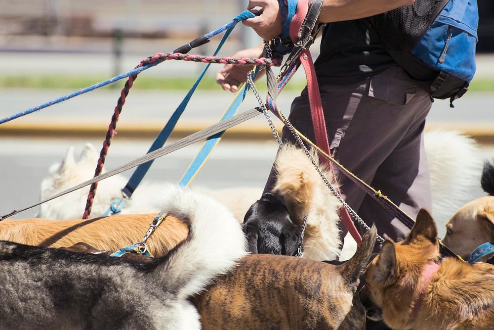 Šetanje pasa sa ogrlicom