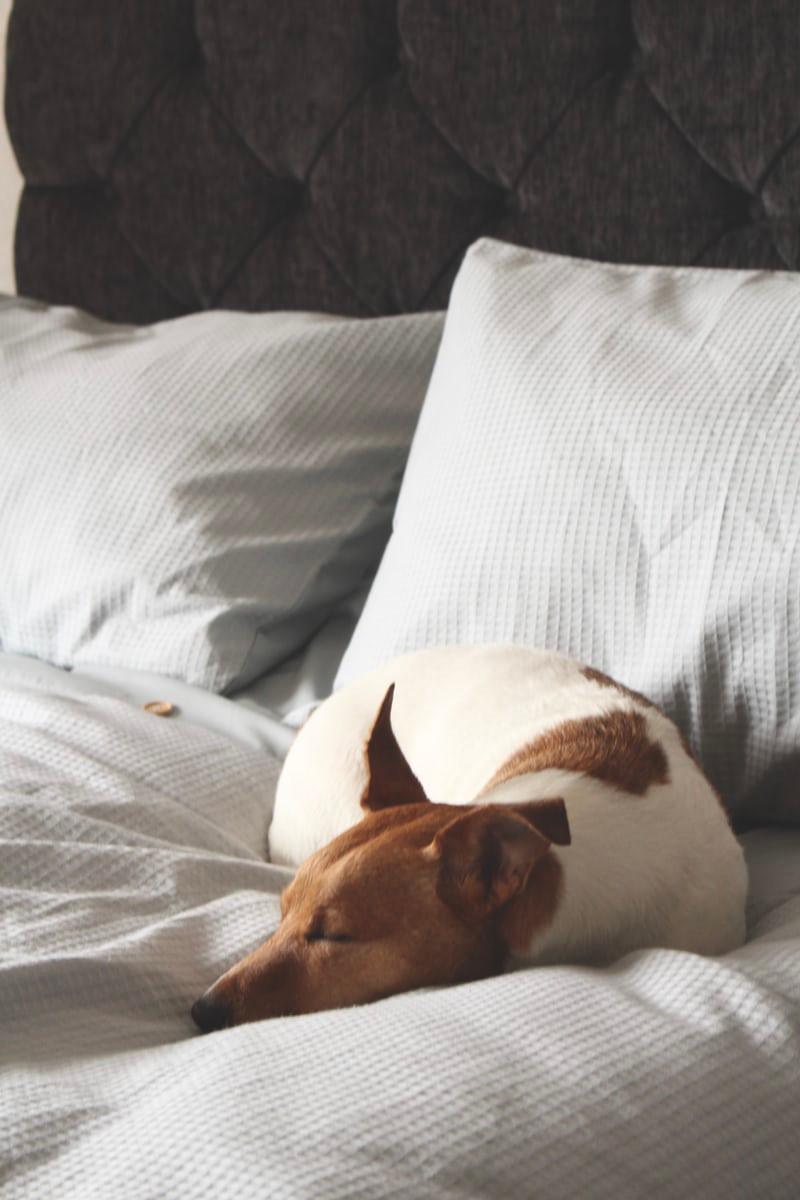 Saiba quais as doenças que podem causar dores de cabeça em cães