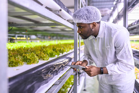 Checking Lettuce Growth