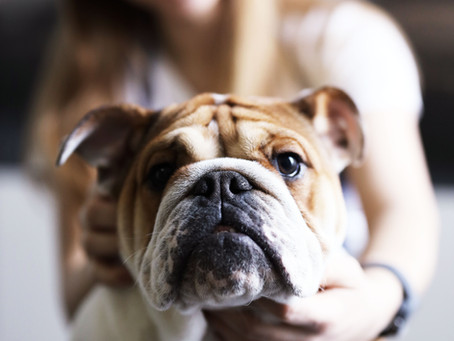 Do you live with or breed Brachycephalic dogs?