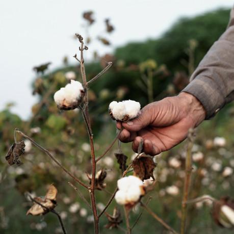 Cotton & biological cotton