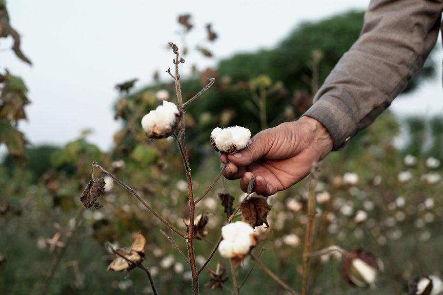 Baumwollpflanze
