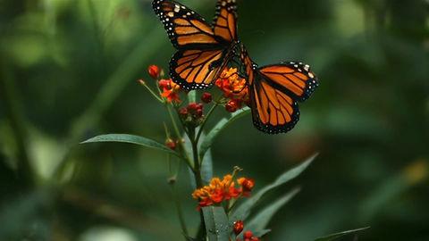 Relaxing Butterflies