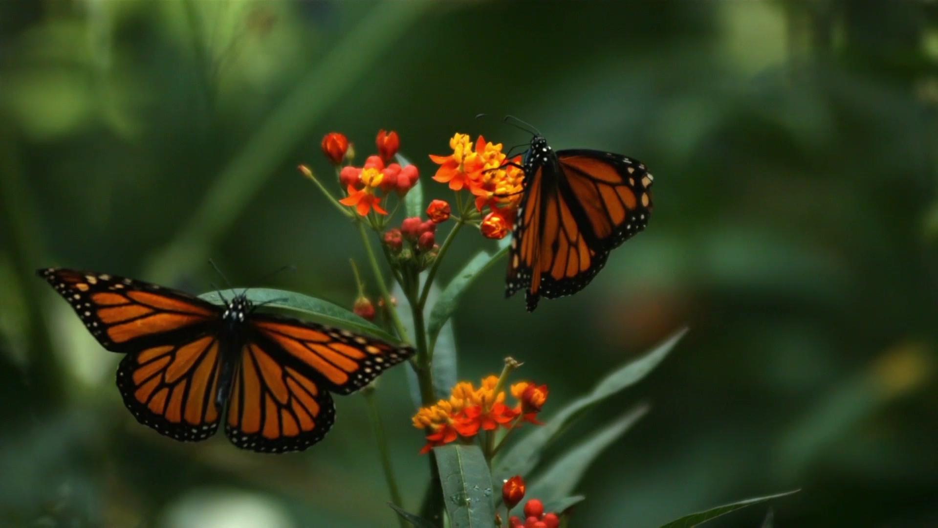 Two Beautiful Butterflies