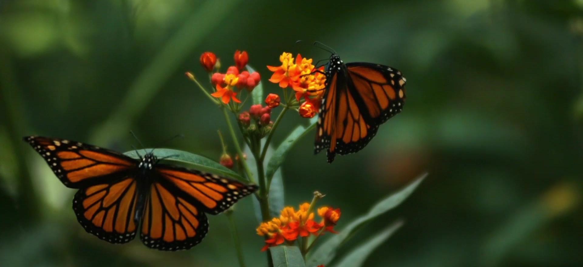 Dos mariposas hermosas