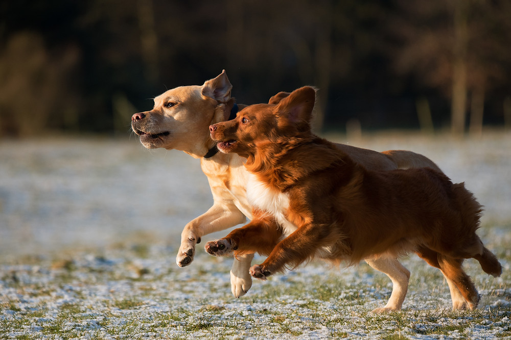 Dogs running and playing outside off-leash