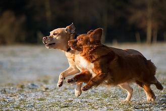 Hunde laufen