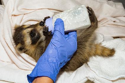 Baby Raccoon Bottle